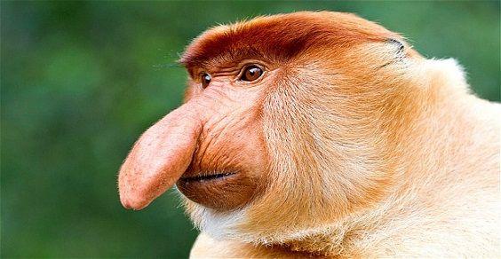 scimmia naso