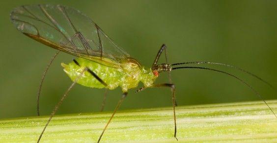 afidi parassiti piante