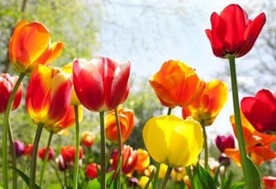bulbi 3 tulipani