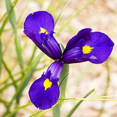 bulbi 6 iris