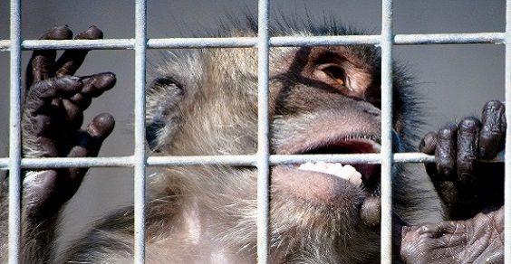 Macachi vivisezione