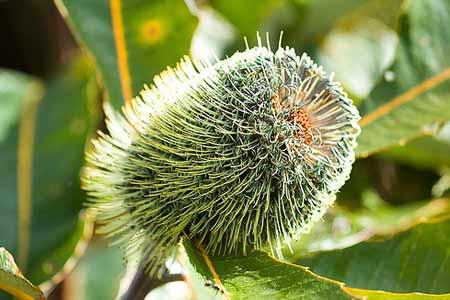 Banksia-Robur