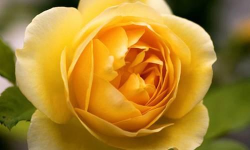 b2ap3_thumbnail_rosa-inglese-graham-thomas.jpg