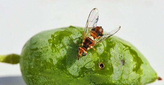 mosca transgenica olivo
