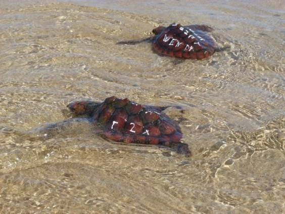 1. Cofete Fuerteventura progetto reintroduzione tartarughe
