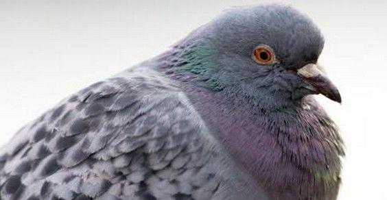 gare piccioni belgio