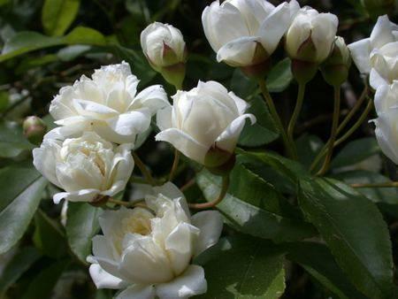 Fiori Simili Alle Rose Nome.10 Piante Rampicanti Adatte Al Pergolato Greenme It