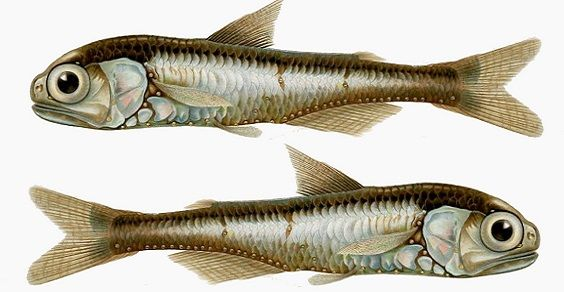 pesce lanterna
