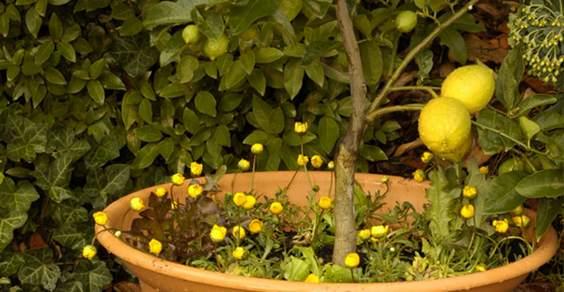 coltivare limoni in vaso