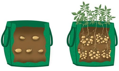 coltivare patate borsa spesa