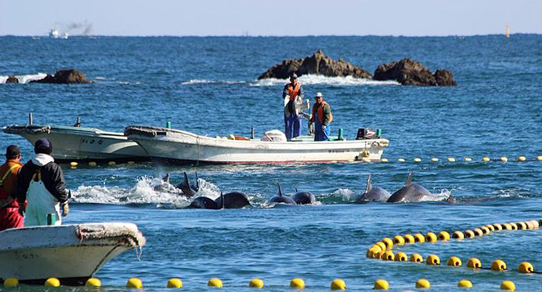delfini taiji