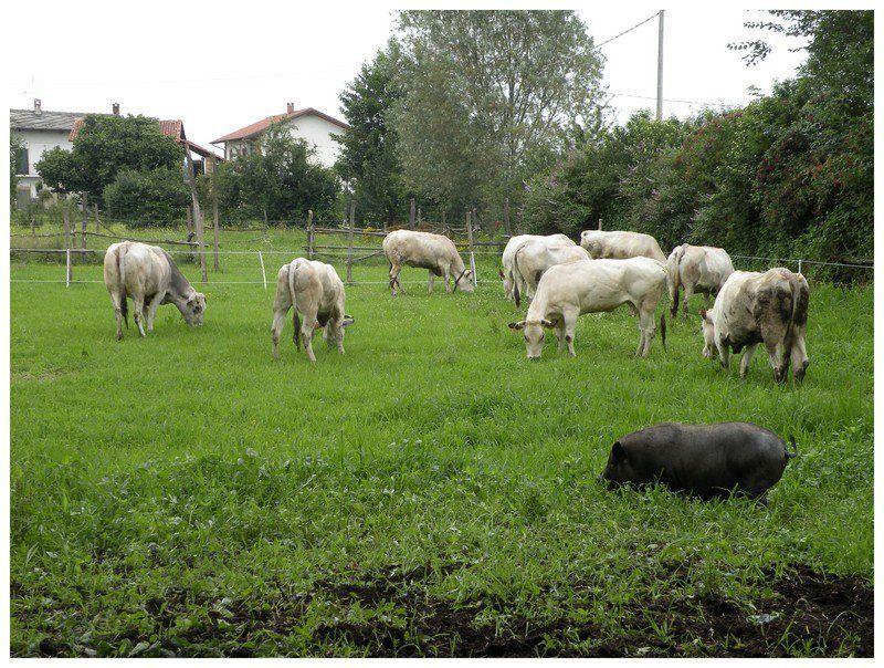 farm serenity cow3