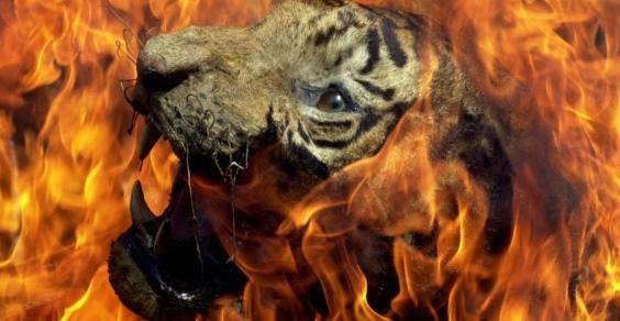 tigre fiamme