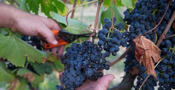 viticoltore-francesce-prigione
