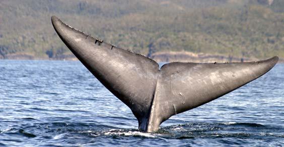 cile balena