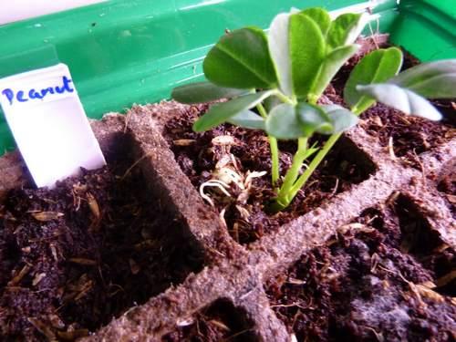 coltivare arachidi 1