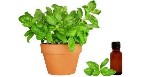 olio essenziale di basilico sementi
