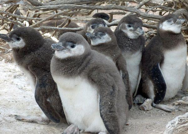 pinguini baby