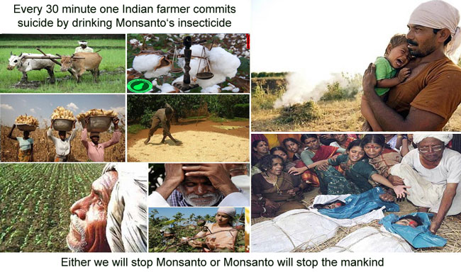 Indian-farmers-Bt-cotton-monsanto