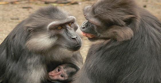 Tonkean macaque Affiliation Photo by E. Palagi