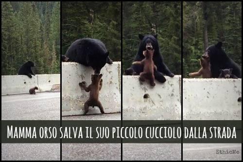 b2ap3_thumbnail_Mamma-orso-salva-il-suo-piccolo-cucciolo-dalla-strada.jpg