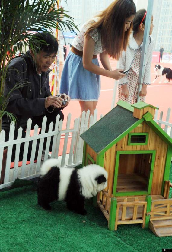 cani panda 4