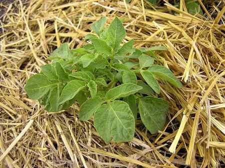 coltivare patate paglia