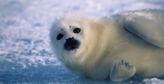 caccia foche
