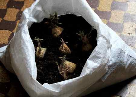 patate sacco