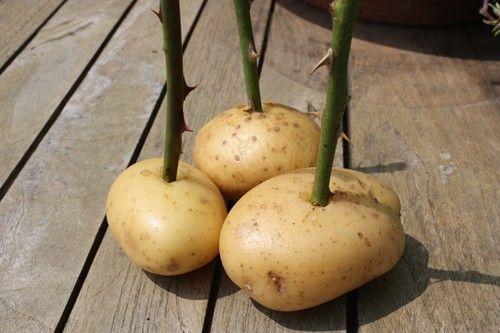 rose patate
