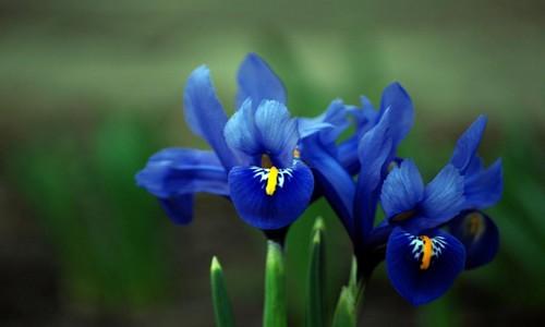 significato fiori iris