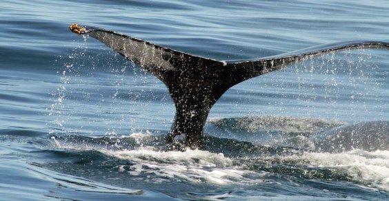 balene accoppiamento