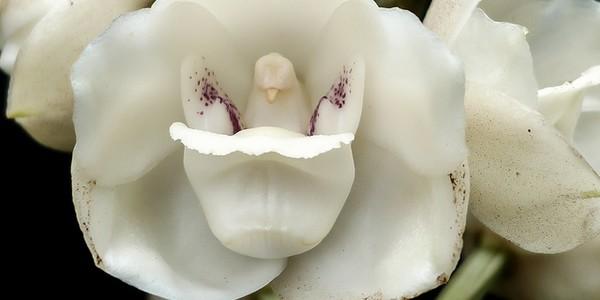 cover orchidea colomba