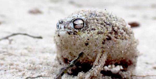 desert-rain-frog