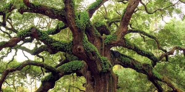 alberi longevi