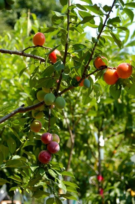 albero 40 frutti tre