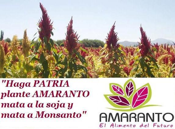 amaranto-soia-ogm