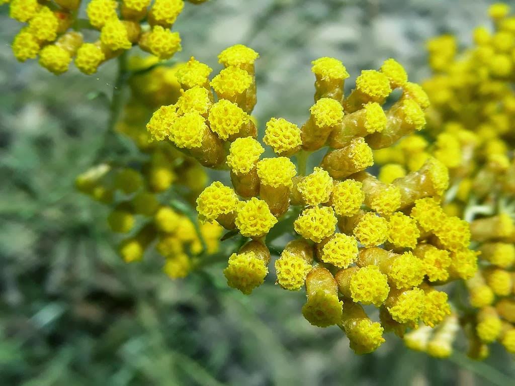 elicriso fiori 2