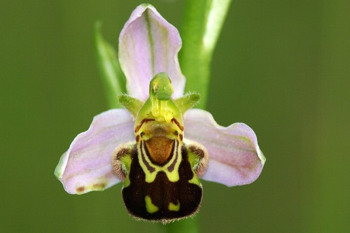 orchidea vespa