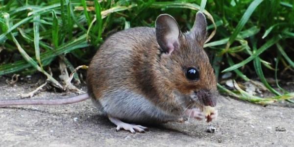 tenere lontani topi