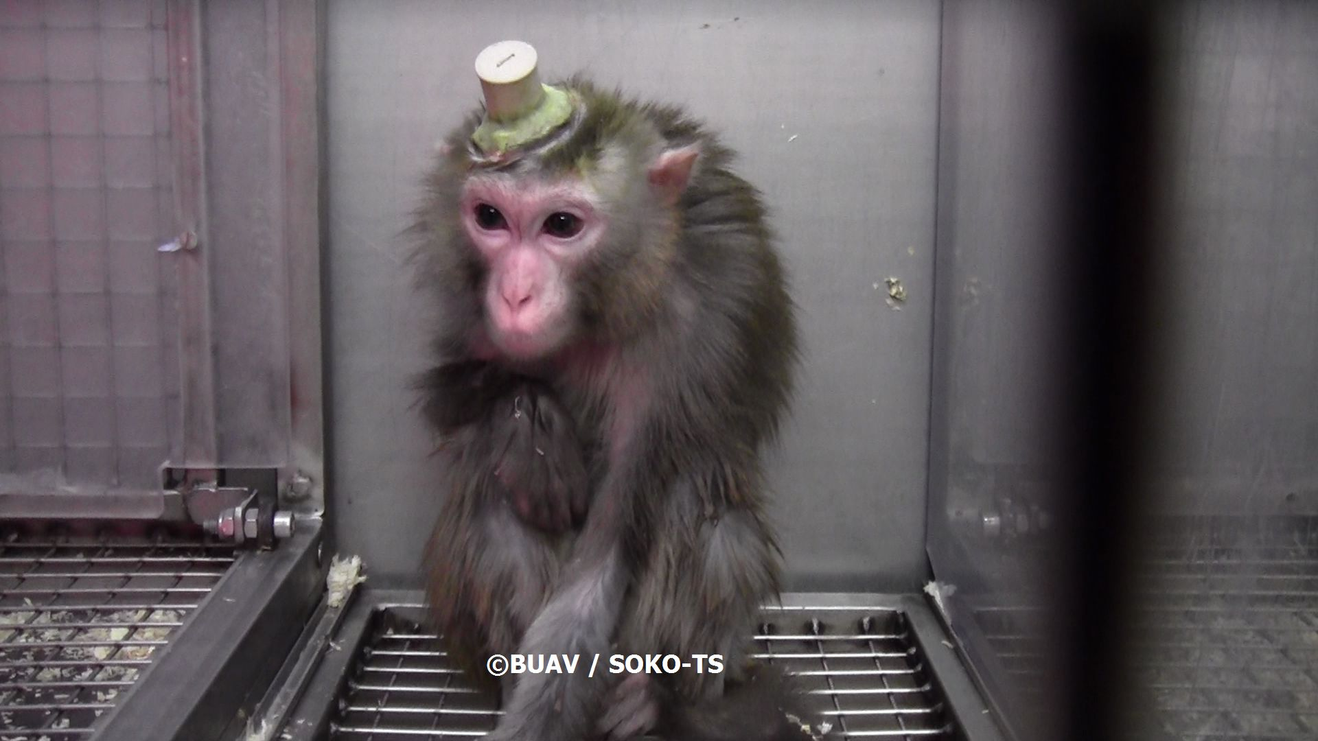 Copyright BUAV Soko TS monkey with electrode