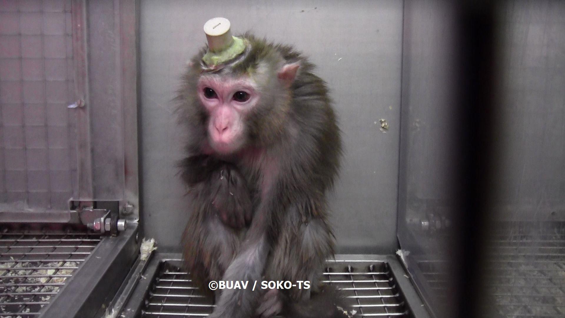 Copyright BUAV Soko TS monkey with electrode