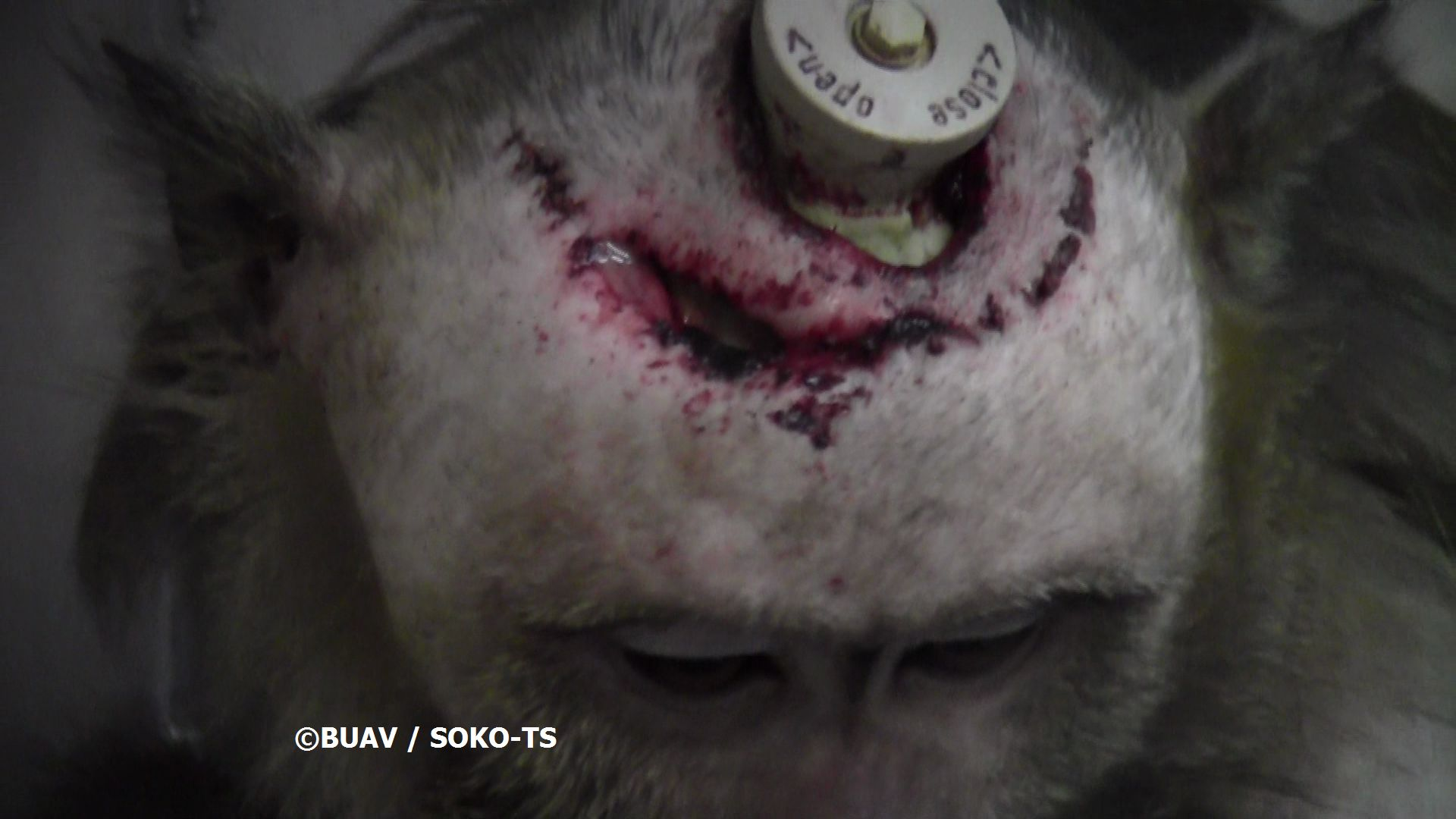 Copyright BUAV Soko TS monkey with head wound