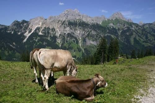 b2ap3_thumbnail_tyrol-grner-annoy-alpe-gimpel-cows-flh_121-68930.jpg