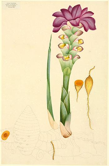 coltivare curcuma 1