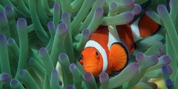 pesce pagliaccio nemo
