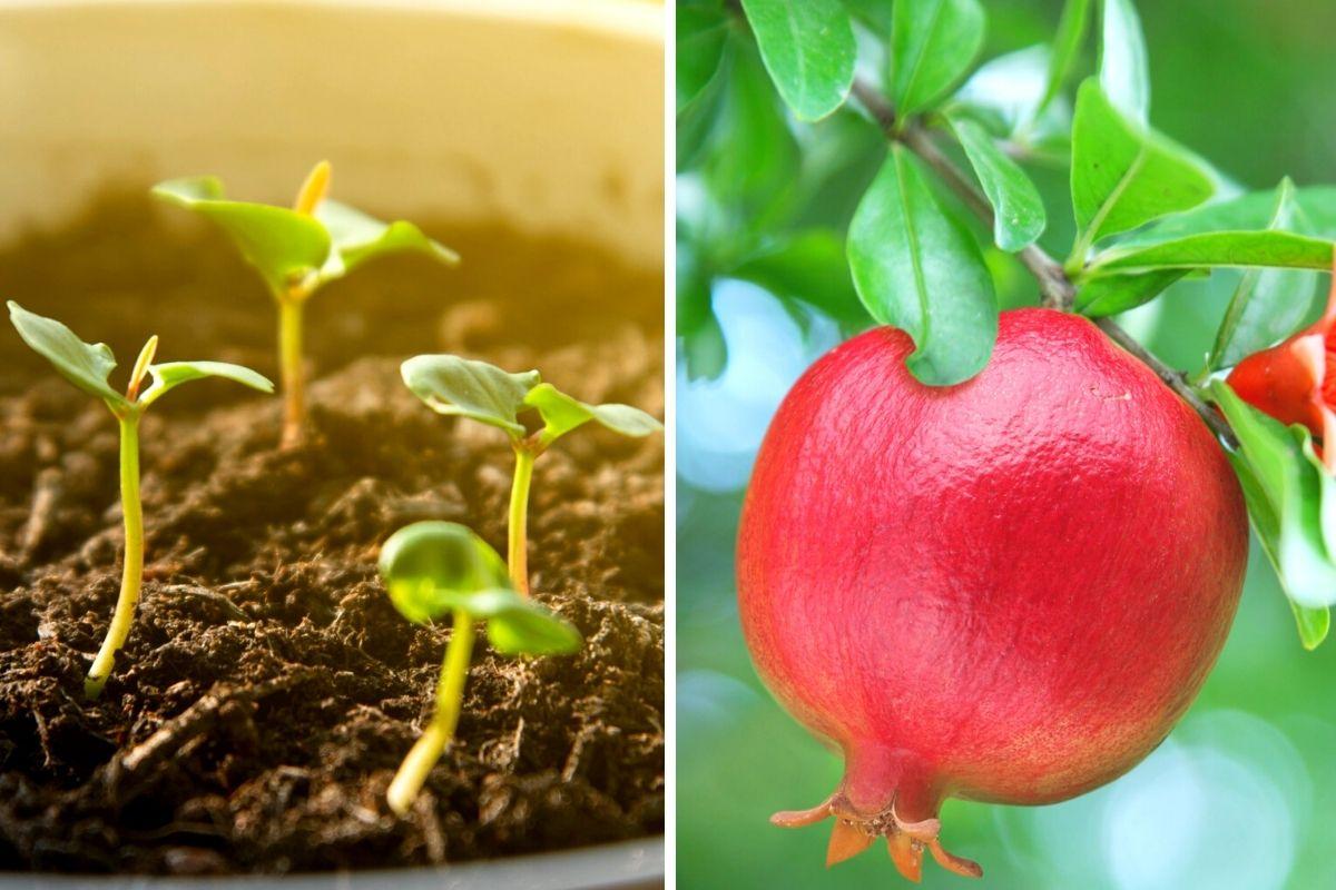 coltivare melograno