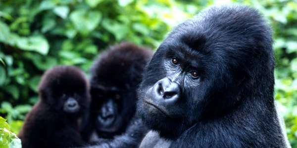 gorilla di montagna africa