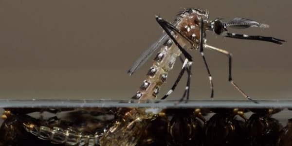 zanzare ogm