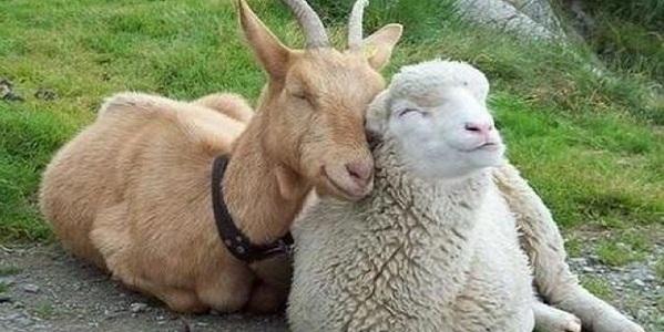 capra pecora